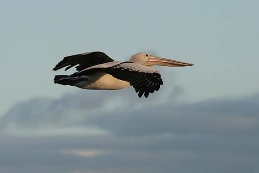 Kathy Peltomaa Lewis - Australian Pelican