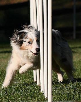 Australian Shepherd Dog Agility by Lisa Anne McKee