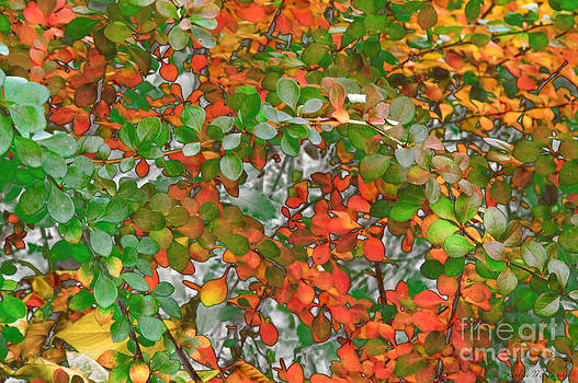 Autumn Barberry in Transition by Kathie McCurdy