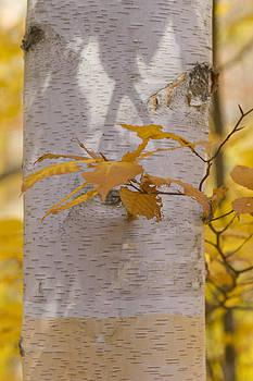 Autumn Birch by Megan Noble