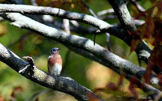 Rosanne Jordan - Autumn Bluebird