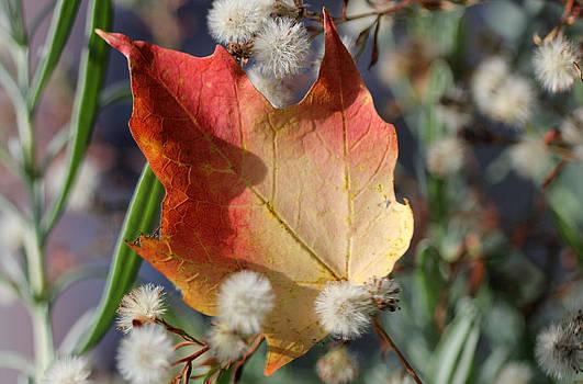 Autumn Blush by Patricia Davis