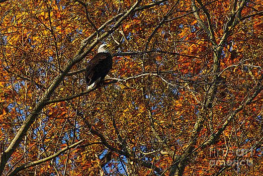 Autumn eagle#1 by Michael Rucci