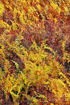 Dan Carmichael - Autumn Ferns - Dolly Sods West Virginia I