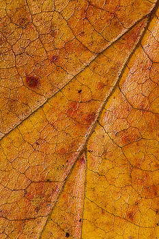 Autumn Leaves No.1 by Daniel Csoka