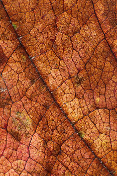 Autumn Leaves No.7 by Daniel Csoka