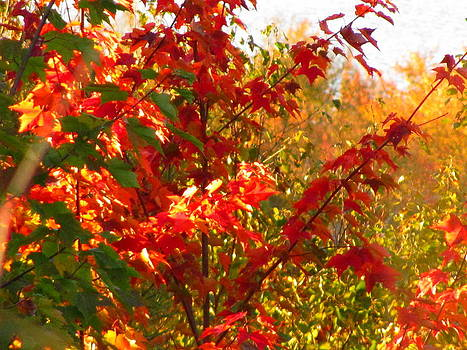 Autumn Red Maple by Sandra Martin