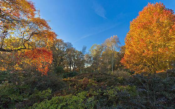 Autumn Tree by Maj Seda