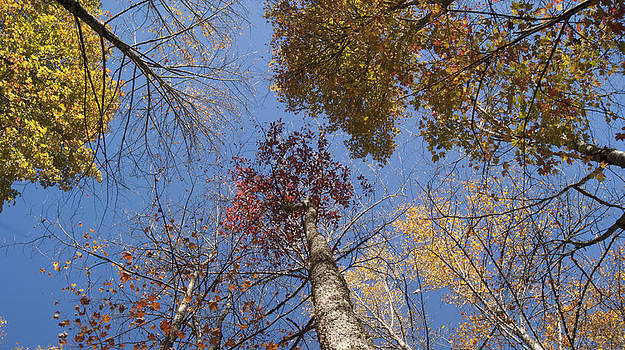 Autumn Trees to the Sky by Tony Hammer