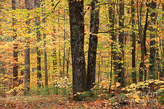 Michael Mooney - Autumn Woods 1