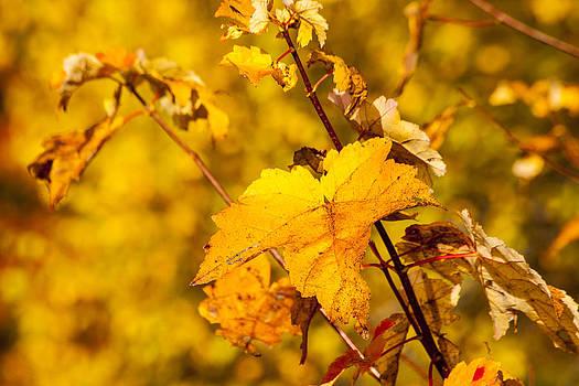 Karol Livote - Autumns Yellow
