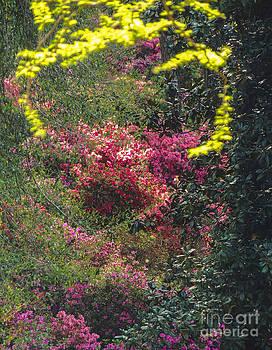 Azalea Surprise at Augusta by L J Oakes