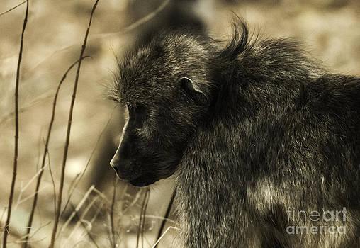 Baboon by Daniela White