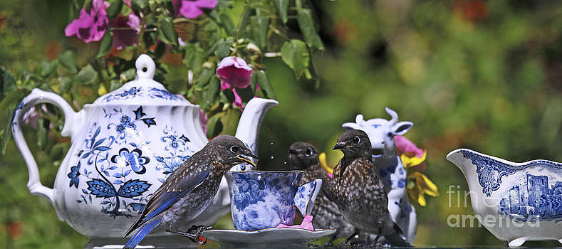 Baby Bluebirds and Tea Time Photo by Luana K Perez
