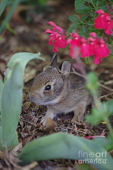Tannis  Baldwin - Baby Bunny
