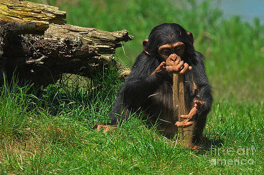Nick  Biemans - Baby chimp playing with sand