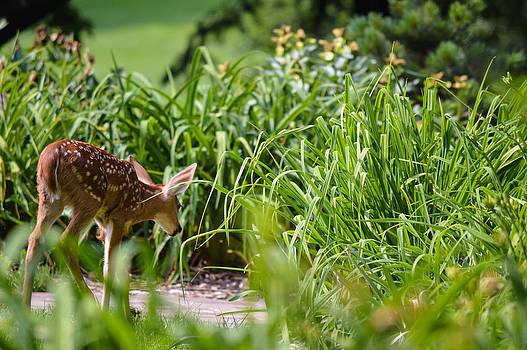 Baby Deer by Jim Wilcox