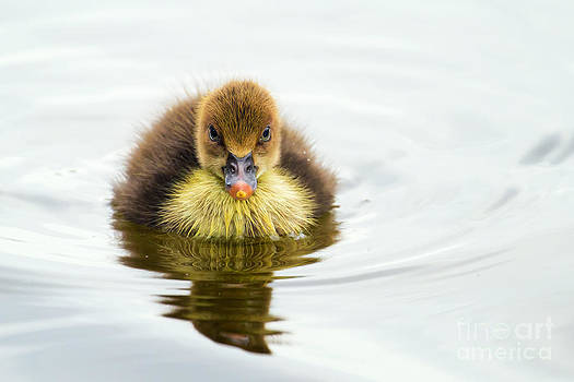Baby Duck on lake by Stephanie Hayes