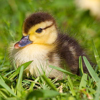 Baby Duck by Stephanie Hayes