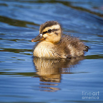 Baby duck swimming by Stephanie Hayes