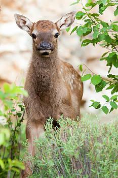 Baby Elk Calf by Bob and Jan Shriner