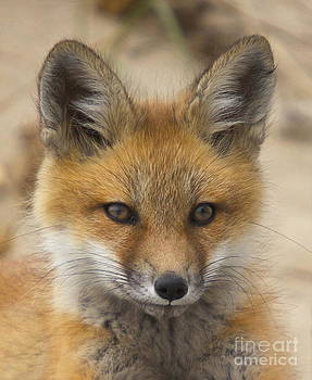 Baby Fox  by Amazing Jules