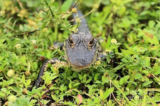 Adam Jewell - Baby Gator