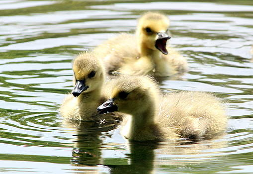 Baby Geese by Diane Rada