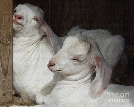 Baby Goats Sleeping by Bob and Jan Shriner
