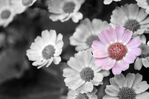 Sumit Mehndiratta - Baby pink  daisy