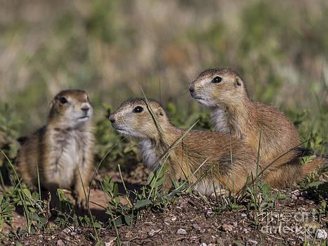 Baby Prairie Dogs by Steve Triplett