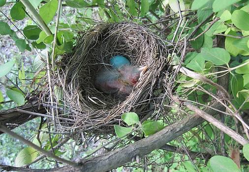 Baby Robin 2 by Brenda Swonger