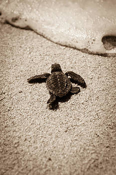 Baby Sea Turtle by Sebastian Musial