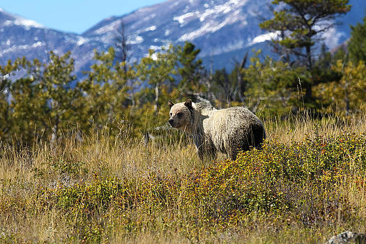 Baby Silver Grizzly Bear by Bill Keeting
