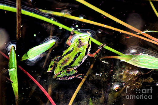 Nick Gustafson - Baby Tree Frog in Pond