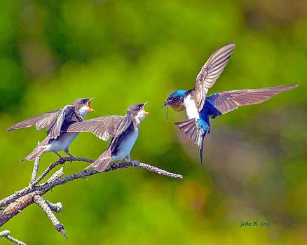Baby Tree Swallows Mealtime by John Stoj
