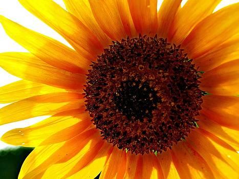 Back-lit Sunflower by Greg Bush
