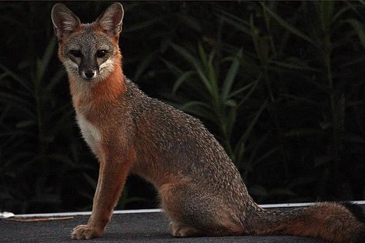 Back yard Fox by Sharon I Williams