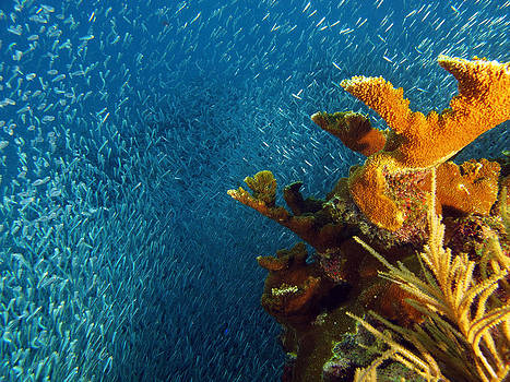Bait Ball Staghorn Coral by Brian Sevald