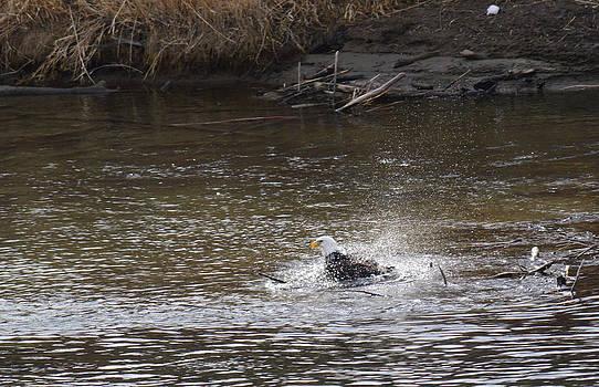 Bald Eagle Bathing by Duane King