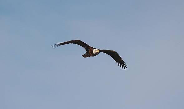 Bald Eagle Flight II by John Dart