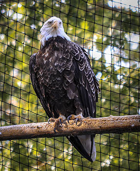 Bald Eagle by Frank Somma