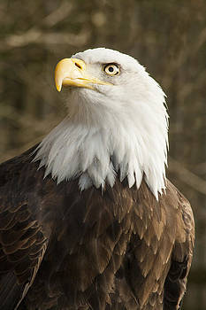 Bald Eagle Haliaeetus leucocephalus by Jordan Browning