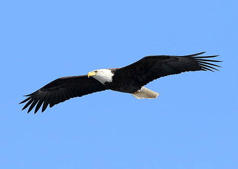 Bald Eagle by Henry Gray