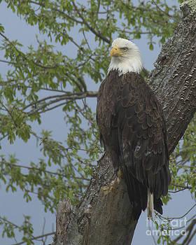 Bald Eagle I by Deborah  Smith