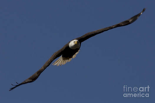 Bald Eagle in Flight Photo by Meg Rousher