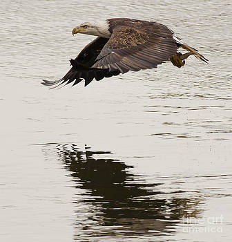 Bald Eagle in Flight by Ursula Lawrence