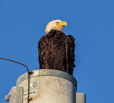 Bald Eagle Indian Pass Fla by Tom Goldsmith