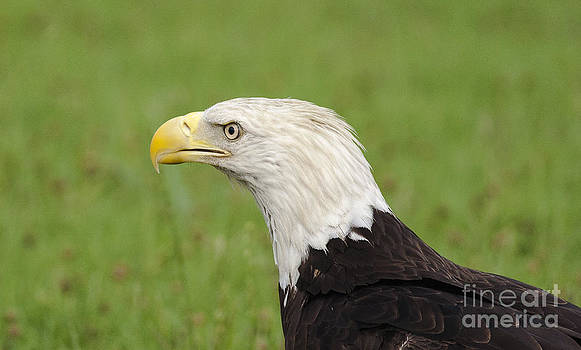 Bald Eagle Portrait by Ursula Lawrence