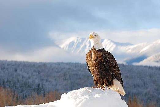 Bald Eagle Posing in Winter by Lisa Hufnagel
